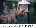 female northern cardinal...   Shutterstock . vector #1201513888