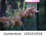 female northern cardinal... | Shutterstock . vector #1201513918