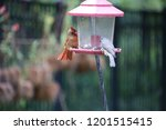 female northern cardinal... | Shutterstock . vector #1201515415