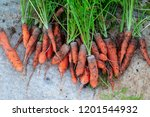 orange carrots  in the garden.... | Shutterstock . vector #1201544932
