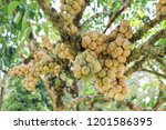 thai organic fruits wollongong... | Shutterstock . vector #1201586395