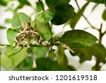 oleander hawk moth    daphnis...   Shutterstock . vector #1201619518