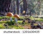 two big mushrooms grow in sun... | Shutterstock . vector #1201630435