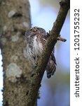 eurasian pygmy owl swabian jura ...   Shutterstock . vector #1201755232
