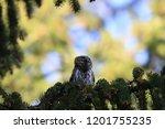 eurasian pygmy owl swabian jura ...   Shutterstock . vector #1201755235