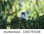 eurasian pygmy owl swabian jura ...   Shutterstock . vector #1201755238