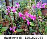 beautiful pink wild orchid in... | Shutterstock . vector #1201821088