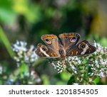 Common Buckeye Butterfly Among...