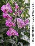 purple orchids in agarden | Shutterstock . vector #1201967395