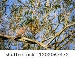 female kestrel perched on a... | Shutterstock . vector #1202067472