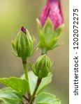 hibiscus flower clse up view... | Shutterstock . vector #1202072275