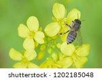 Macro Details Of Honeybee On...