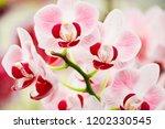 pink phalaenopsis or moth... | Shutterstock . vector #1202330545