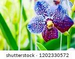 pink phalaenopsis or moth... | Shutterstock . vector #1202330572