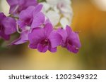 close up  thai  orchid in... | Shutterstock . vector #1202349322