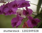 close up  thai  orchid in... | Shutterstock . vector #1202349328