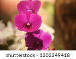 close up  thai  orchid in... | Shutterstock . vector #1202349418