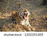 tiger with broken canine   Shutterstock . vector #1202351305