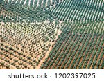 olive grove in andalucia  spain | Shutterstock . vector #1202397025