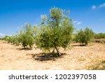 olive tree in valencia  spain | Shutterstock . vector #1202397058