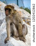 the famous apes of gibraltar ... | Shutterstock . vector #1202412862