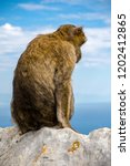 the famous apes of gibraltar ... | Shutterstock . vector #1202412865