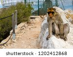 the famous apes of gibraltar ... | Shutterstock . vector #1202412868