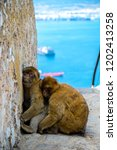 the famous apes of gibraltar ... | Shutterstock . vector #1202413258