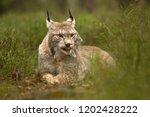eurasian lynx also known as...   Shutterstock . vector #1202428222
