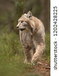 eurasian lynx also known as...   Shutterstock . vector #1202428225