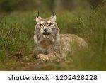 eurasian lynx also known as...   Shutterstock . vector #1202428228
