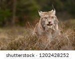 eurasian lynx also known as...   Shutterstock . vector #1202428252