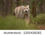 eurasian lynx also known as...   Shutterstock . vector #1202428282