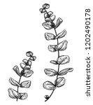 eucalyptus hand drawn ink...   Shutterstock .eps vector #1202490178