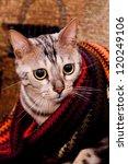 young bengal cat | Shutterstock . vector #120249106