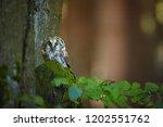 close up boreal owl  aegolius... | Shutterstock . vector #1202551762