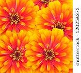 zinnia flowers   Shutterstock . vector #120256372