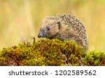 hedgehog  wild  native ... | Shutterstock . vector #1202589562