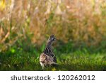 Wild Ruffed Grouse, Elk Island National Park Alberta Canada - stock photo