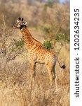 the south african giraffe or... | Shutterstock . vector #1202634235