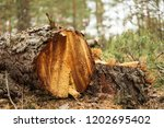 closeup pine tree trunk in a... | Shutterstock . vector #1202695402