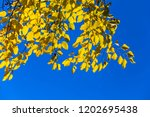 closeup red autumn tree branch... | Shutterstock . vector #1202695438