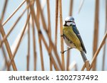 the eurasian blue tit ... | Shutterstock . vector #1202737492