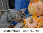 Cat Helps To Cut Out A Pumpkin. ...