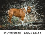 english bulldog in the nature | Shutterstock . vector #1202813155