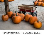 harvested pumpkins awaiting... | Shutterstock . vector #1202831668