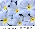 white flowers on the ground ... | Shutterstock . vector #1202859295