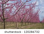 Peach Tree Lines In Bloom ...