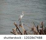 Great Egret Stop On Dead Tree...