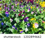 Pansy   Viola Flowers And Plants